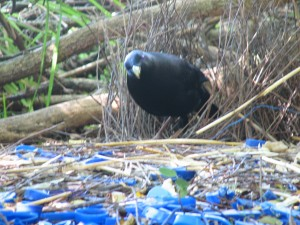 """our"" Bower Bird"